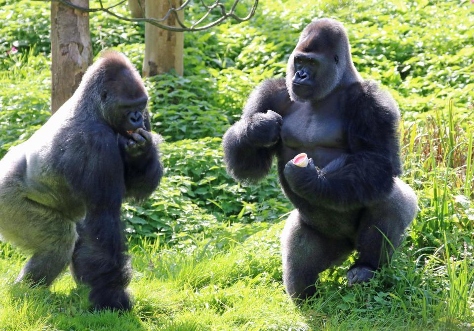 Боксерский поединок горилл в британском зоопарке