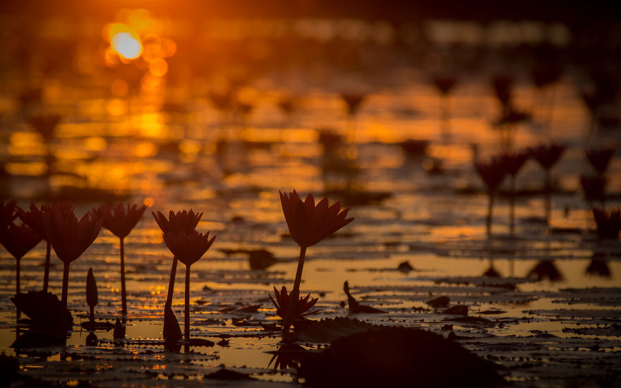 I-visited-the-red-lotus-sea-in-Thailand-57b31618170c8__880.jpg