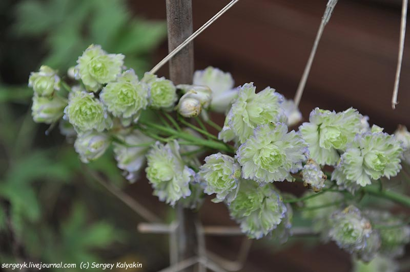 Delphinium elatum New Mill F1 Green Twist.JPG
