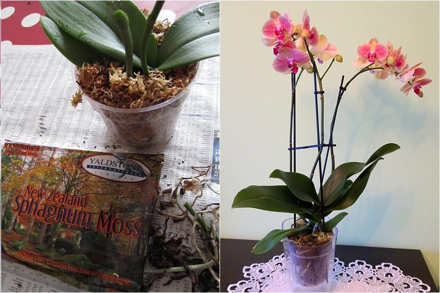 Почему у орхидеи гниют корни - реанимация орхидеи