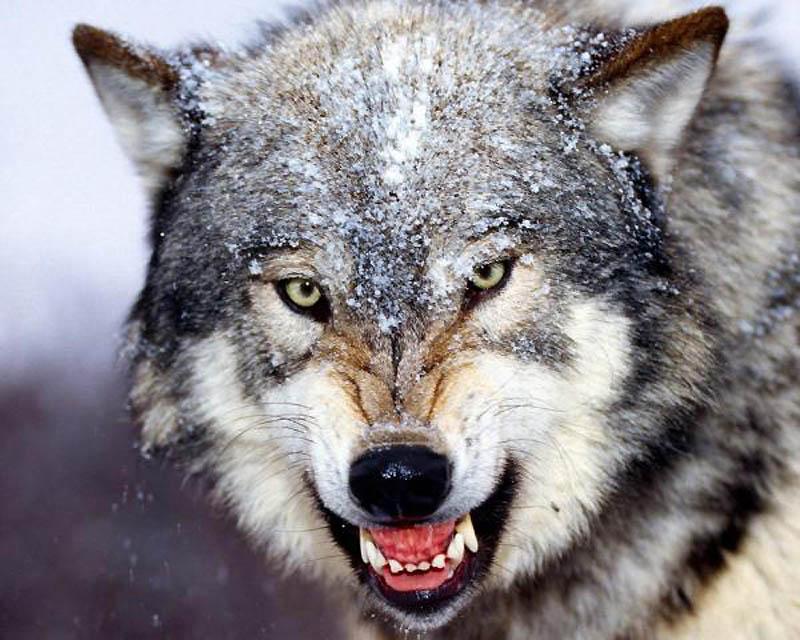 17. Волк   Бурые волки наиболее агрессивны и не боятся людей. Хотя говорят, что нормальный волк