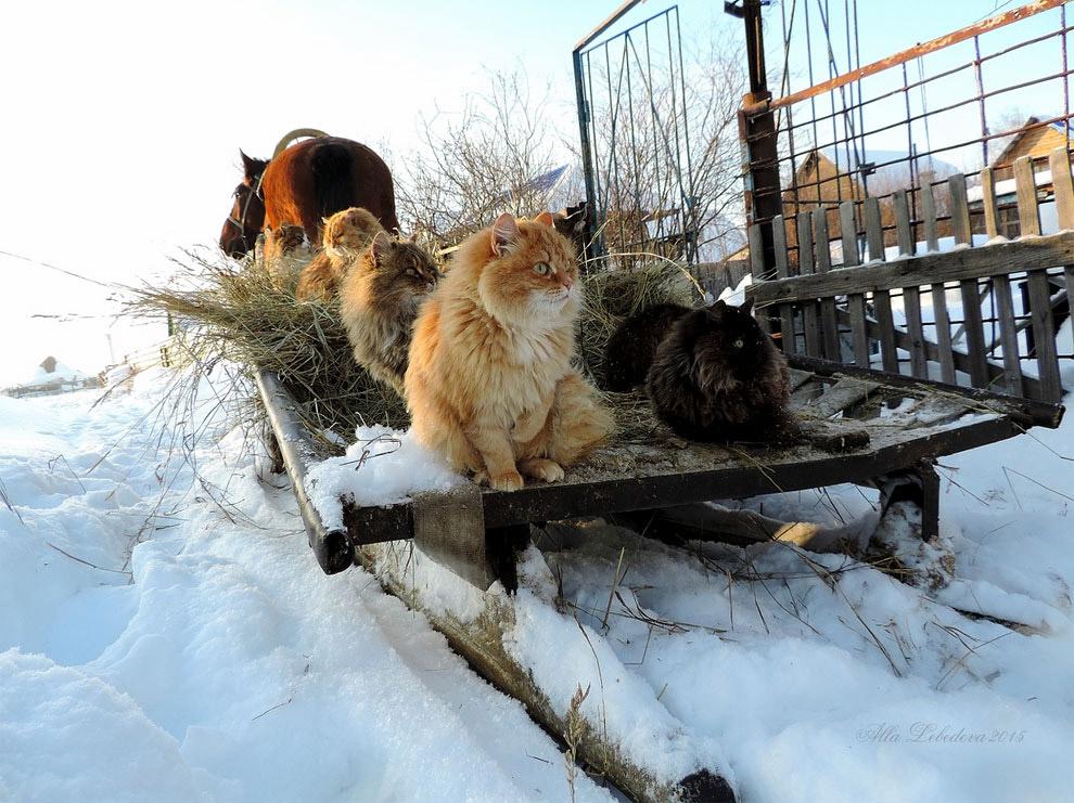 7. Кстати, кошки не просто так тут отдыхают, а приносят реальную пользу: защищают цыплят и кроликов