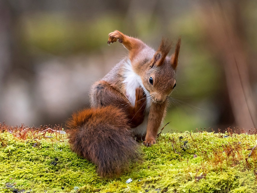 20. Будущий боксер. (Фото Hannele Kaihola | Comedy Wildlife Photography Awards):