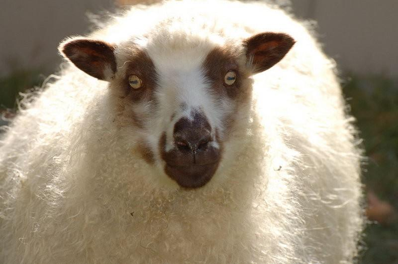 Монголы лечатся глазными яблоками овец, которые маринуют и заливают томатным соком.
