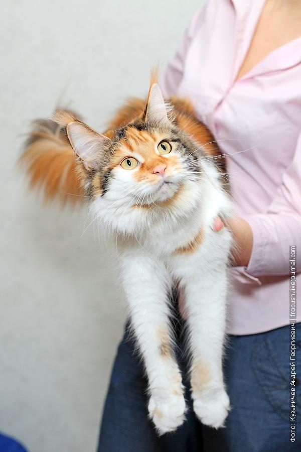 кошка Мейн-кун в растяжке