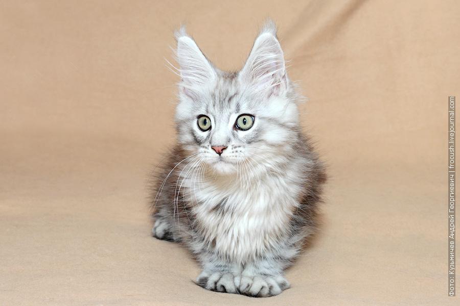 котенок Мейн-кун Москва продажа