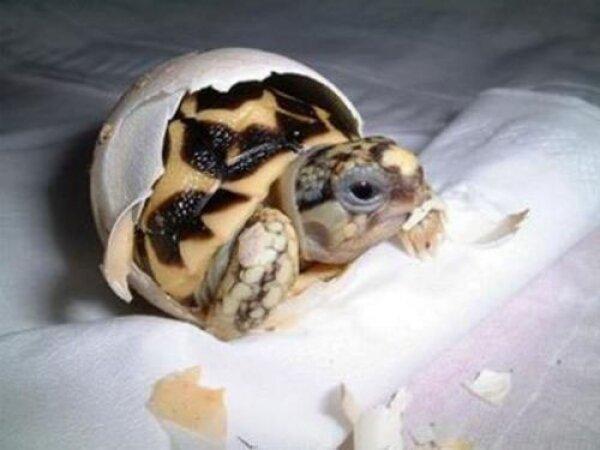 Черепаха откладывает яйца в домашних условиях 175