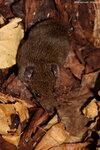 Малый крысиный еж, малая гимнура