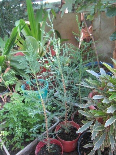 Домашний кипарис из семян в домашних условиях