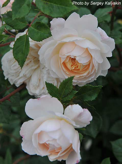 Rosa Crocus Rose (2).JPG