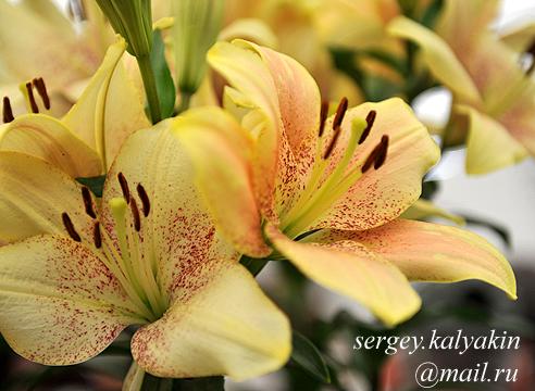 Lilium Sweet Desire.JPG