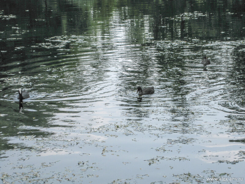 Московский парк Победы. Помимо уток-крякв в парке встречаются лысухи.