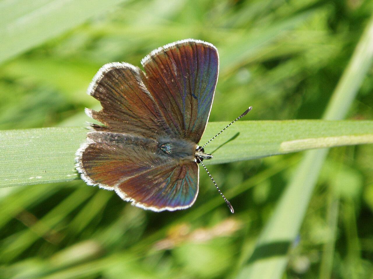Голубянка изменчивая (Aricia artaxerxes). Автор фото: Владимир Брюхов