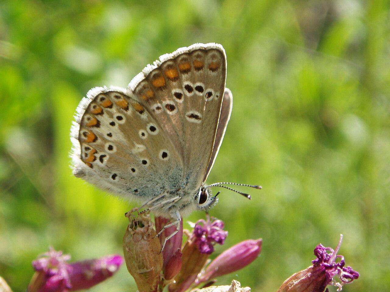 Голубянка изменчивая (Aricia artaxerxes) Автор фото: Владимир Брюхов