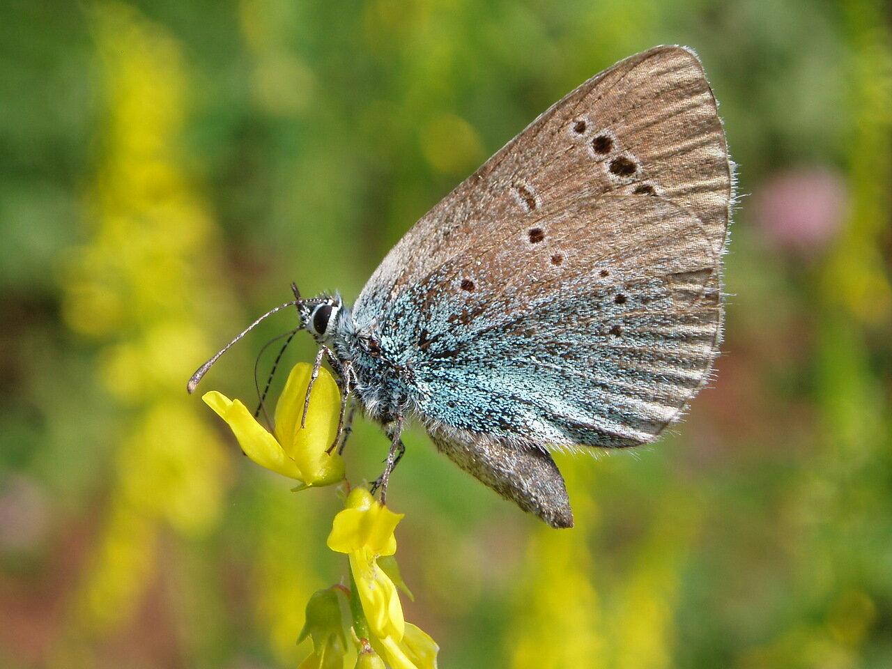 Голубянка алексис (Glaucopsyche alexis). Автор фото: Владимир Брюхов