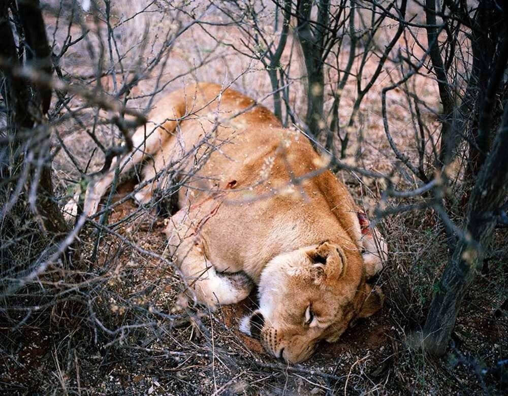 Застреленная львица, Калахари, Южная Африка