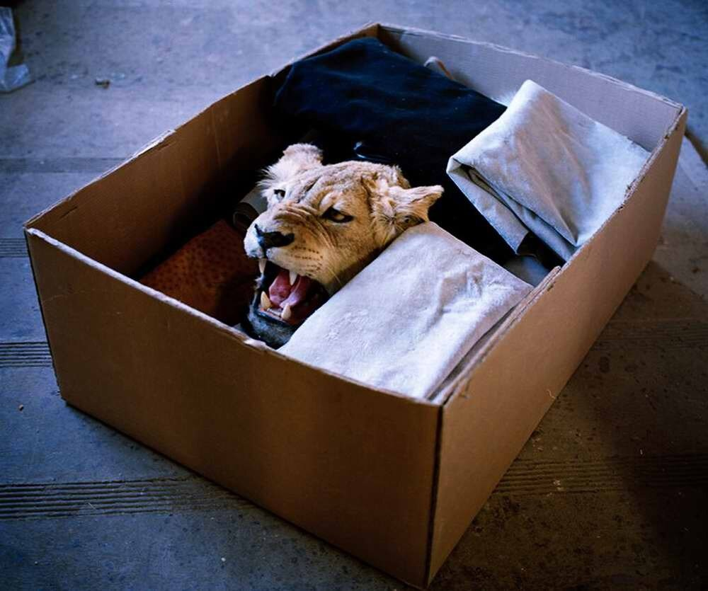 Голова львицы в картонной коробке, Восточно-Капская провинция, Южная Африка