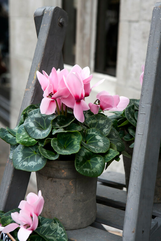 pink cyclamen on the grey wooden steps near building