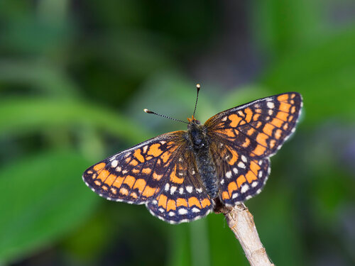 Шашечница большая (Euphydryas maturna)