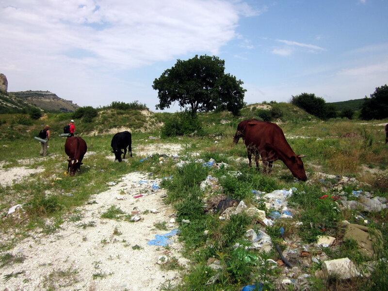 Коровы в Бакле