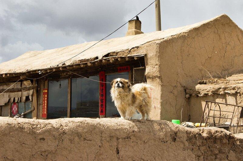 собака во внутренней монголии, китай