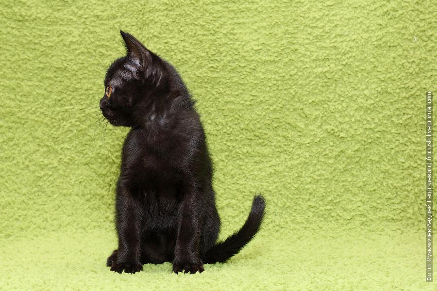 Бомбейская кошка питомник Москва