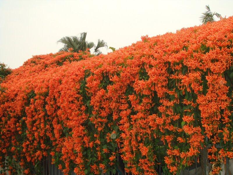 Плетущее растение с оранжевым цветком