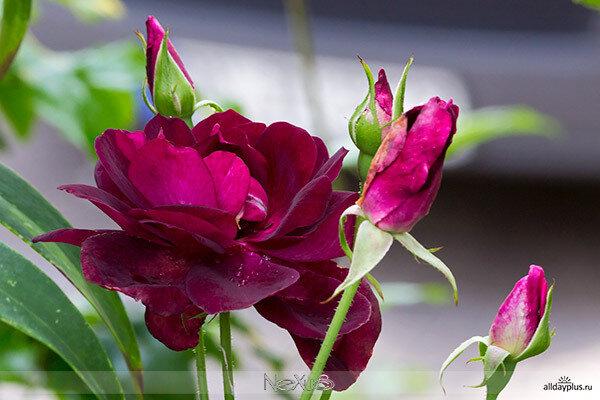 Я люблю все цветы, часть 68 | Розы «Gloria Dei» и «Velvet Queen».