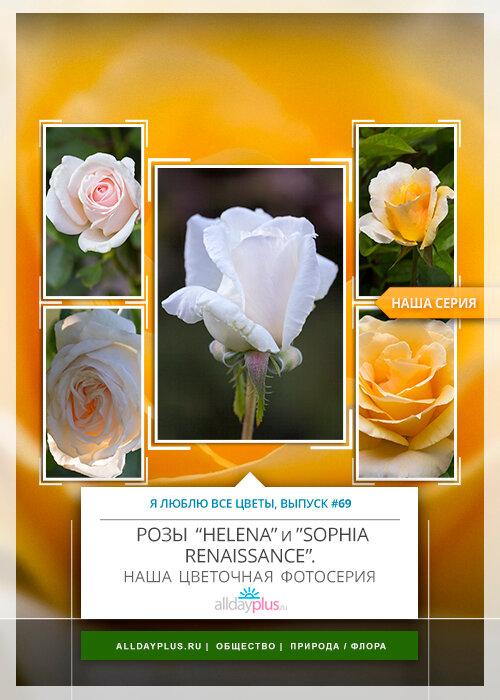 Я люблю все цветы, часть 69 | Розы «Helena» и «Sophia Renaissance».