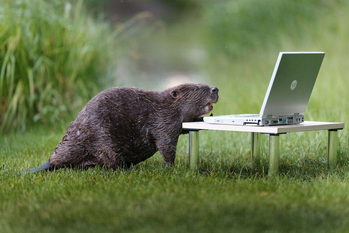Beaver Photographer