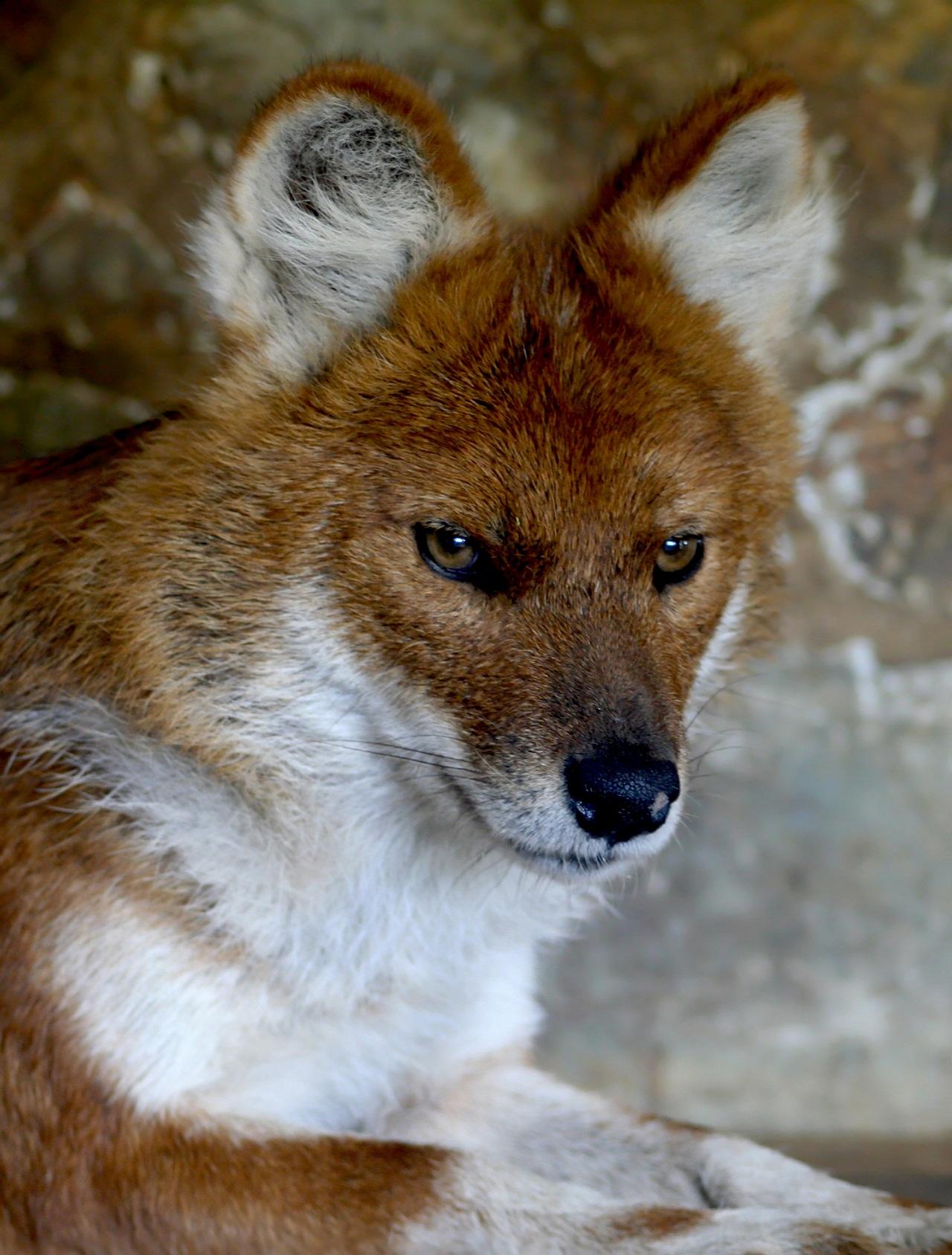 Фото красного волка описание для детей