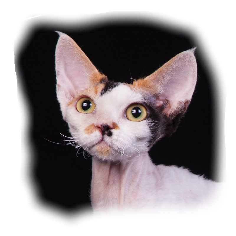 кошка девон-рекс, питомник Indigo Planet