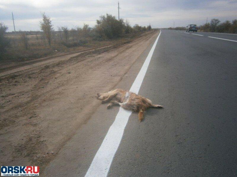 собака на трассе