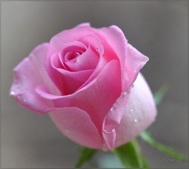 Розовая роза еще не распустилась полностью