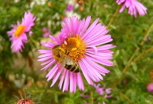 Сентябринки - лакомый цветочек...