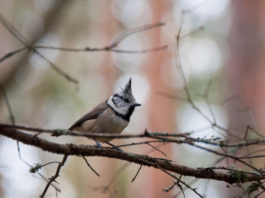 Хохлатая синица (Lophophanes cristatus). Автор фото: Владимир Брюхов
