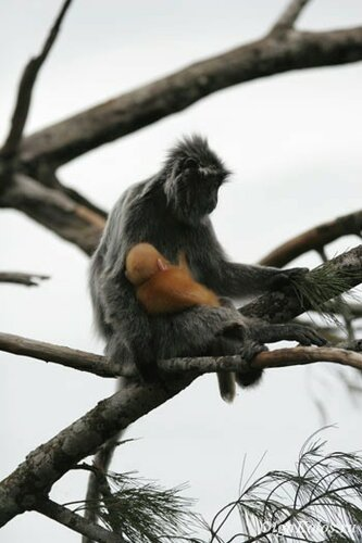 У silver leaf monkey детеныши рождаются рыжими