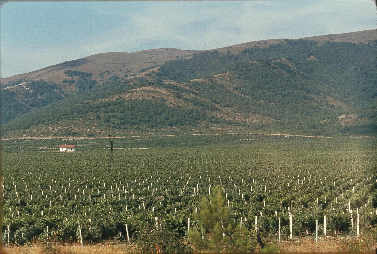 Виноградник возле Кабардинка»