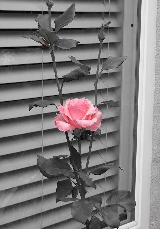 Фотошоп не нужен. Роза под окном