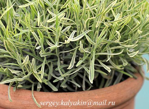 Lavandula angustifolia Platinum Blonde.JPG