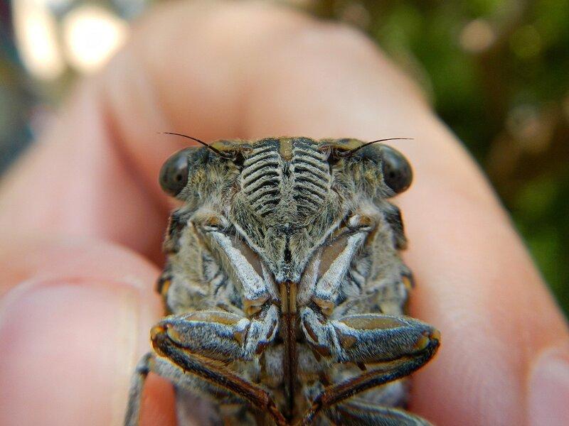 Мордочка цикады