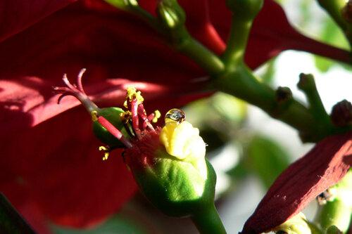 пуансеттия цветочек