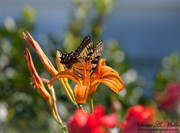 Погружение-бабочка и лилия-0010-Viktoria Mullin