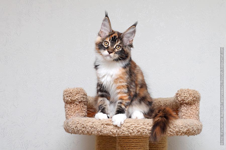Мейн-кун котенок из питомника цена