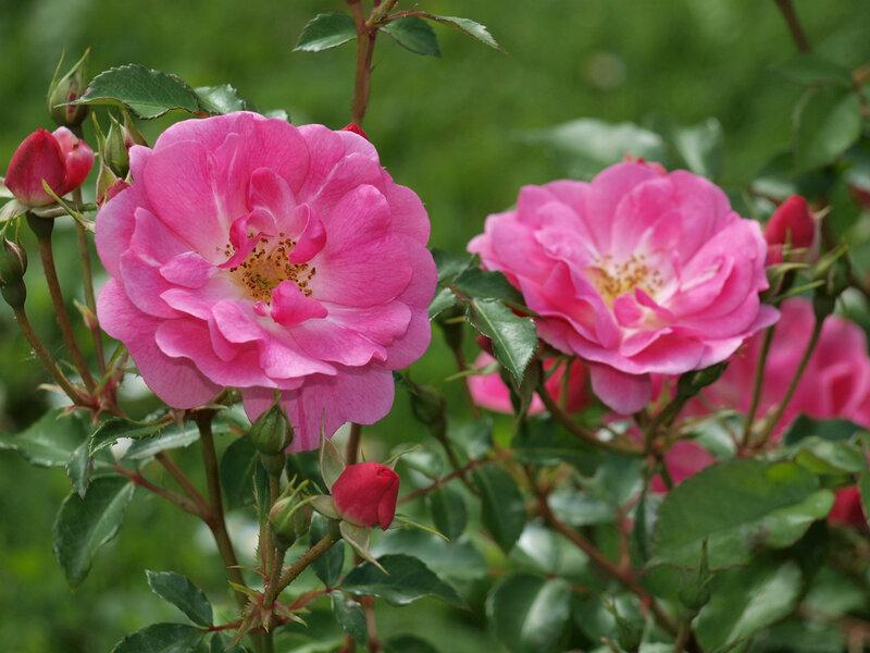 роза австрийская фото