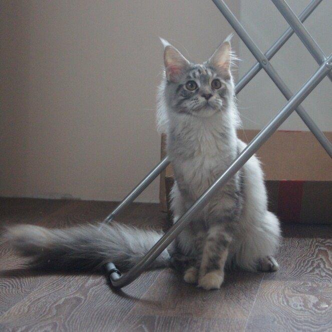 Кошка породы мейн-кун Зефирка г. Владивосток