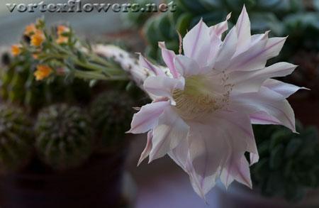 Фото живых цветов. Цветок кактуса фото.