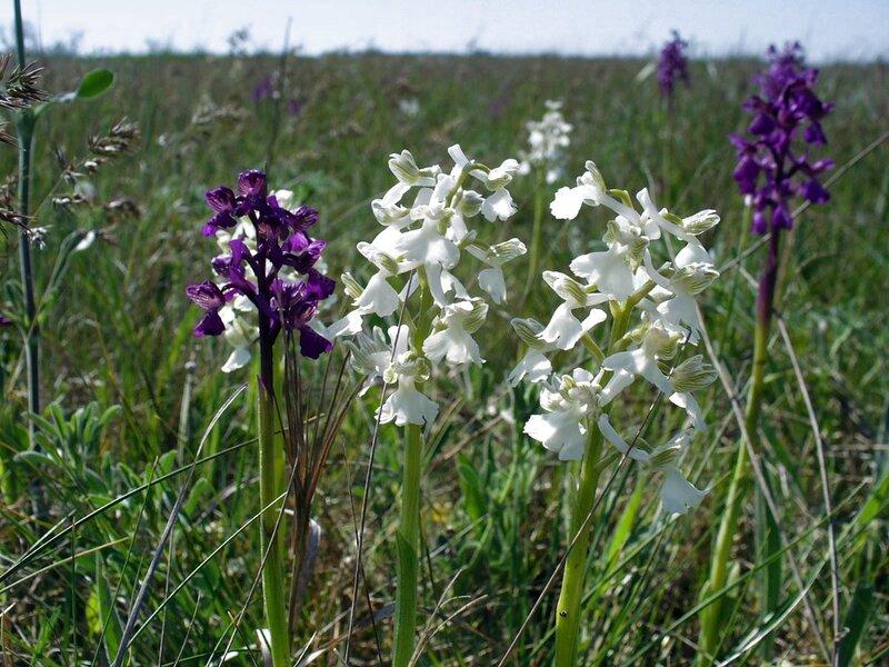 Дикие орхидеи