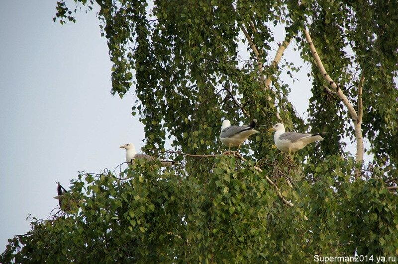 Чайки на дереве