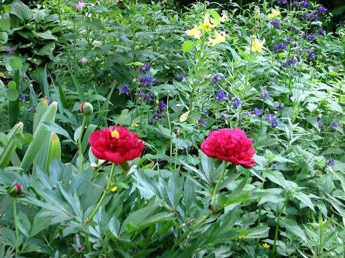 Пион, лилии, аквилегия